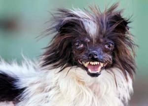 Peanut, le chien le plus moche du monde