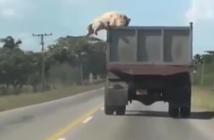 Vidéo: Ce cochon aurait fait n'importe quoi pour ne pas finir à l'abattoir