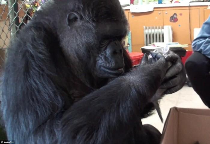Stérile, cette gorille va recevoir deux chatons à adopter. Sa réaction est incroyable