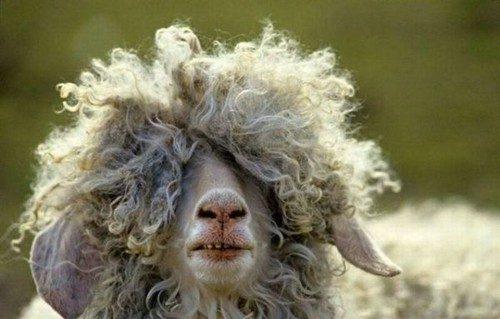 Des moutons ayant avalé du cannabis sèment la panique dans un village