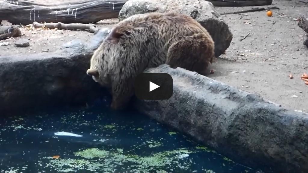 Vidéo: Un ours sauve un corbeau de la noyade