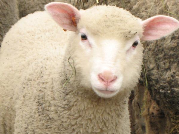 Lille: Un mouton saute du 5e étage