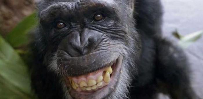 Des scientifiques découvrent que les chimpanzés se font des apéritifs très alcoolisés