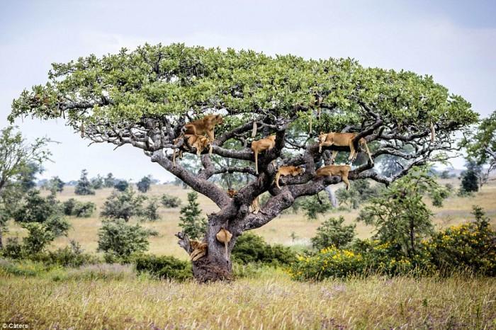 Ces lions se cachent dans un arbre à cause de…