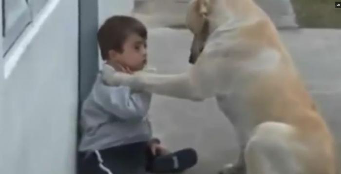 Ce que va faire ce labrador à ce garçon trisomique est magnifique