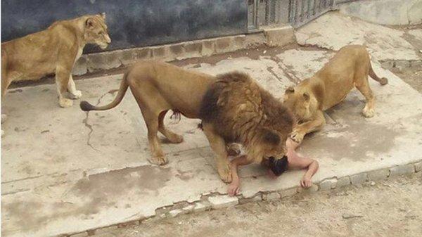 Il se jette dans la cage aux lions au zoo