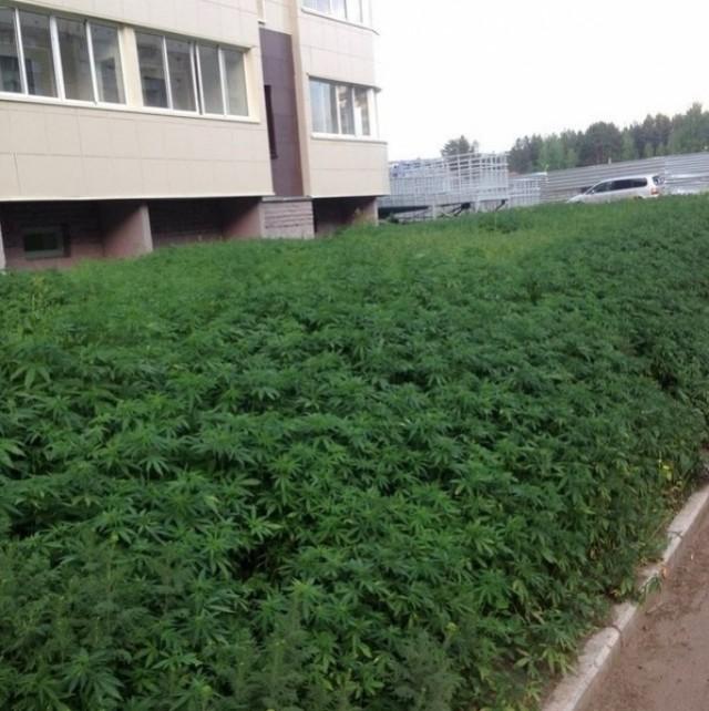 La mairie se trompe de graine et plante du cannabis en ville