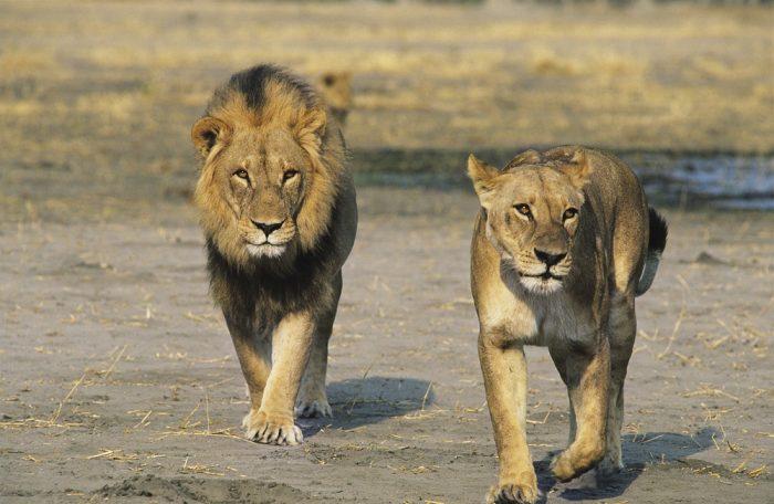 Le président zimbabwéen a prévu de manger des éléphants, des buffles et un lion pour son anniversaire